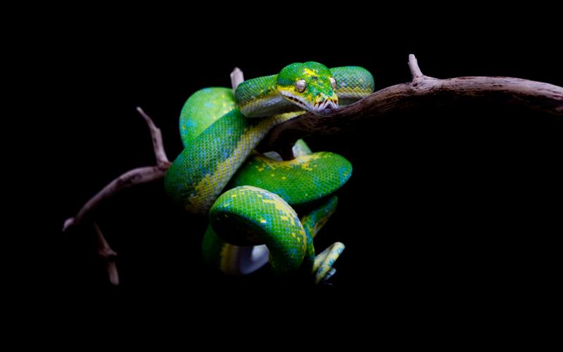 4 year old Chondro Python