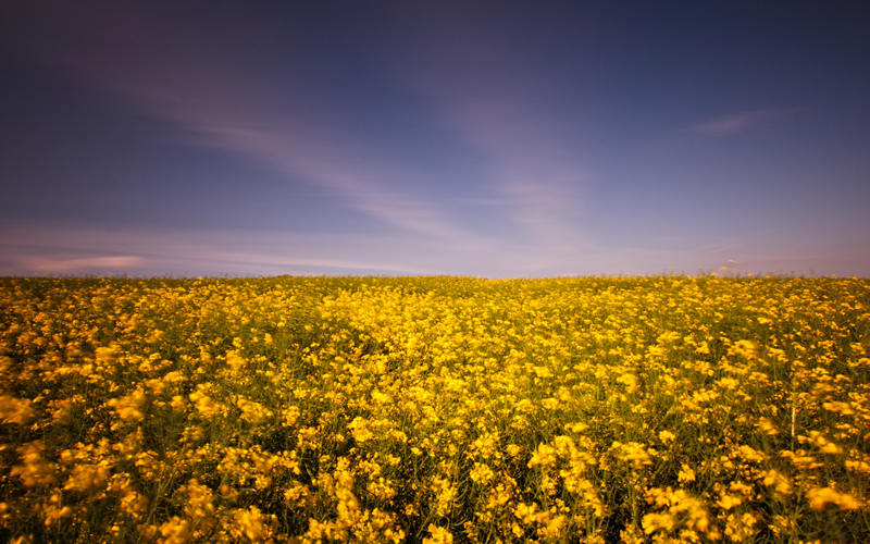Wall Art - Field of Gold - Long Exposure of a Rapeseed Oil field in full bloom