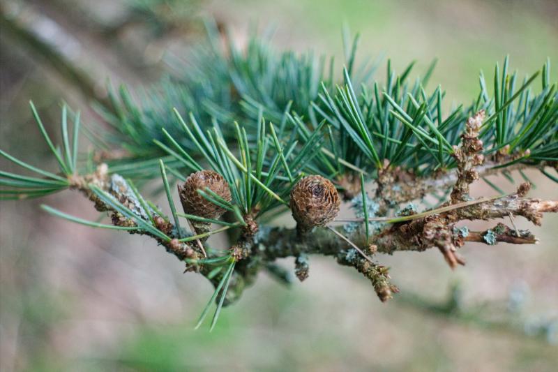 Fir tree in close up